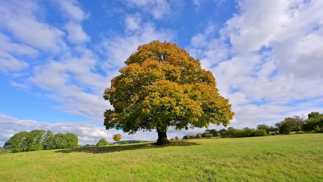 maple tree in autumn, vogelsberg, hesse, germany - single tree stock videos & royalty-free footage