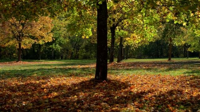 Maple tree in autumn, Wertheim, Main-Tauber-Kreis, Baden-Württemberg, Germany