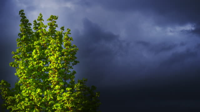 Maple Tree In Front Of Dark Clouds