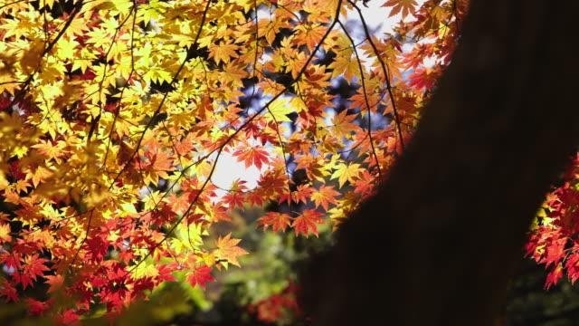 maple tree in songgwangsa temple / suncheon-si, jeollanam-do, south korea - stationary process plate stock videos & royalty-free footage
