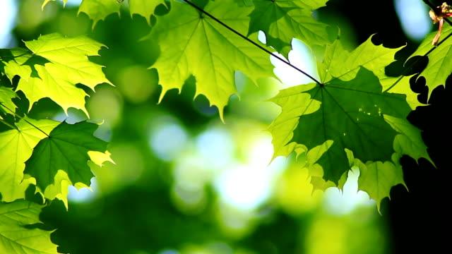 maple tree leaves - maple tree stock videos and b-roll footage