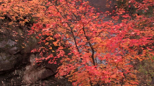 MS Maple tree with autumn leaves at bottom of rock wall/ Canyon de Chelly National Monument, Arizona