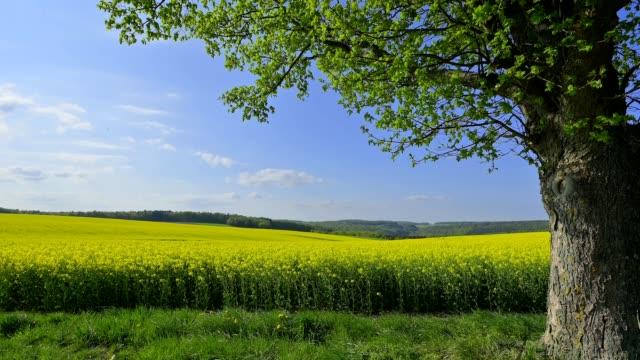 vídeos y material grabado en eventos de stock de maple tree with canola field in the spring, neudorf, amorbach, odenwald, bavaria, germany - árbol de hoja caduca