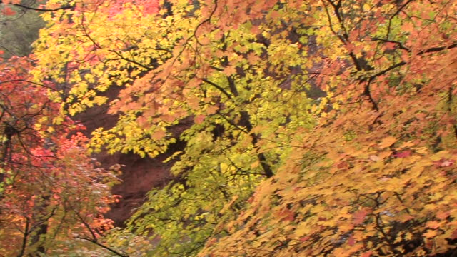 ms pan maple trees in canyon with fall leaves/ canyon de chelly national monument, arizona - canyon de chelly stock videos & royalty-free footage