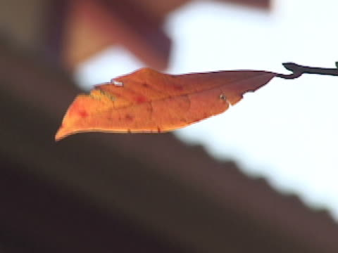 vidéos et rushes de maple  - secouer
