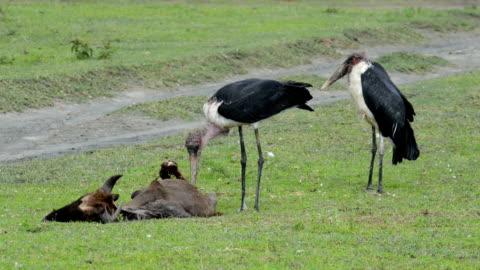 marabou stork eating dead wildebeest - scavenging stock videos & royalty-free footage
