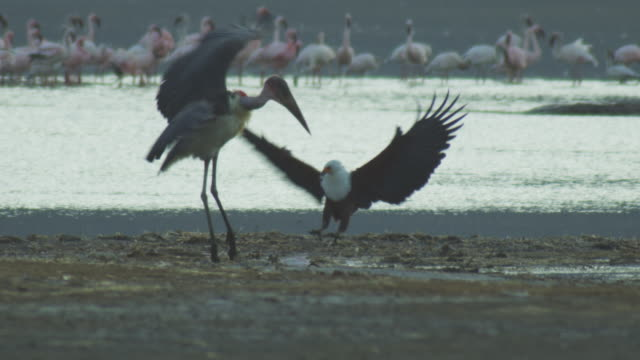 slomo marabou stork feeds on injured flamingo on ground and squabbles with african fish eagle  - african fish eagle stock videos & royalty-free footage
