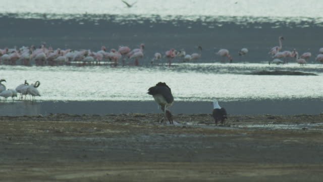 SLOMO Marabou stork feeds on injured flamingo on ground as African Fish eagle looks on with flamingo flock in background