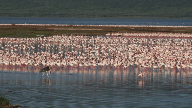 WS PAN Marabou stork walking intently behind injured Lesser flamingo with flock in background