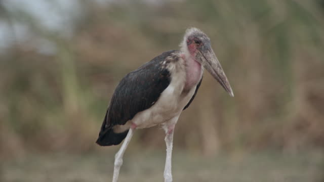 marabou stork walking / sudd swamps, south sudan, africa - swamp stock videos & royalty-free footage