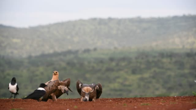 marabou stork & white-backed vulture & tawny eagle in a nature reserve, south africa - eyal bartov stock videos and b-roll footage