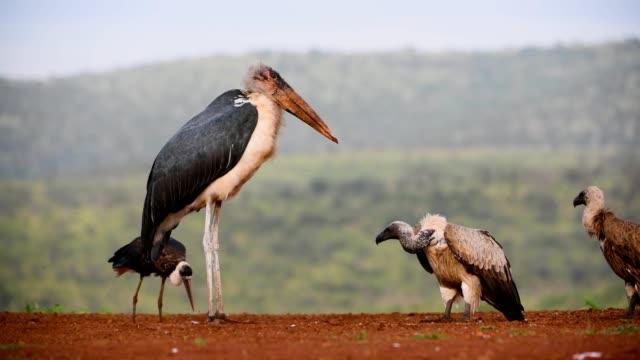 marabou stork & white-backed vulture - サファリ動物点の映像素材/bロール