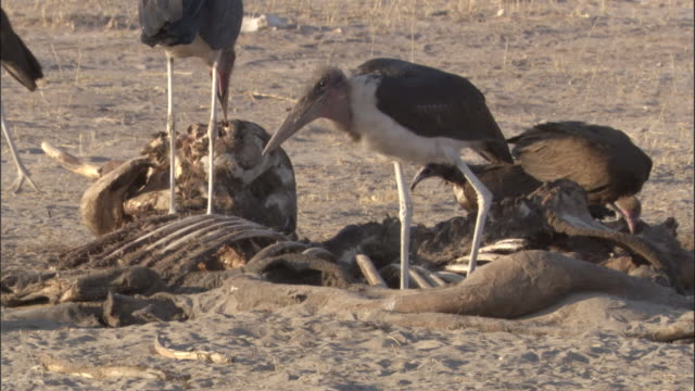 marabou storks scavenge on elephant carcass, botswana - 動物の骨点の映像素材/bロール