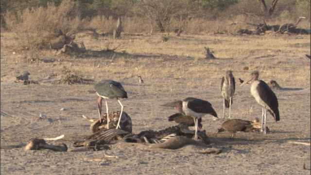 marabou storks scavenge on elephant carcass, botswana - dead stock videos & royalty-free footage