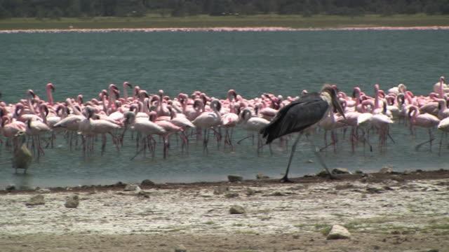 ms, pan, marabou (leptoptilos crumeniferus) walking along lake shore, flock of lesser flamingos (phoenicopterus minor) wading in water, lake naivasha, kenya - walking in water stock videos & royalty-free footage