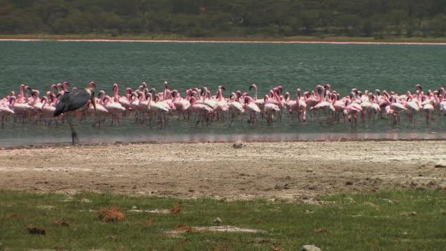 ms, marabou (leptoptilos crumeniferus) walking along lake shore, flock of lesser flamingos (phoenicopterus minor) wading in water, lake naivasha, kenya - walking in water stock videos & royalty-free footage