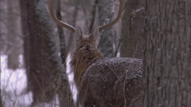 maral deer walks away in snowy forest, russia - deer stock videos & royalty-free footage