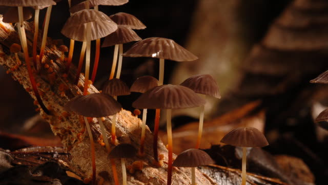 marasmius mushrooms grow on decaying wood. available in hd. - woodland stock videos & royalty-free footage