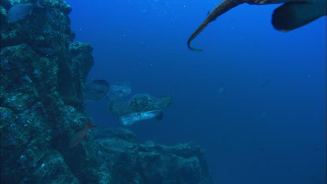 marble ray costa rica, pacific ocean  - pälsteckning bildbanksvideor och videomaterial från bakom kulisserna