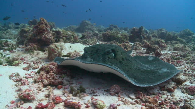 marble ray (taeniura meyeni) gets cleaned by moon wrasses (thalassoma lunare) then leaves, profile, front view, vaavu atoll, the maldives - stingray stock videos and b-roll footage