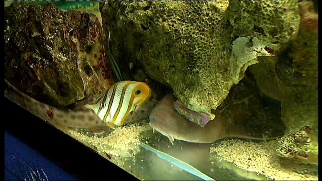 vidéos et rushes de marble shark and fish in tank more of marble shark / general view tank with fish swimming around / more of fish including bright yellow tropical fish... - marble rock