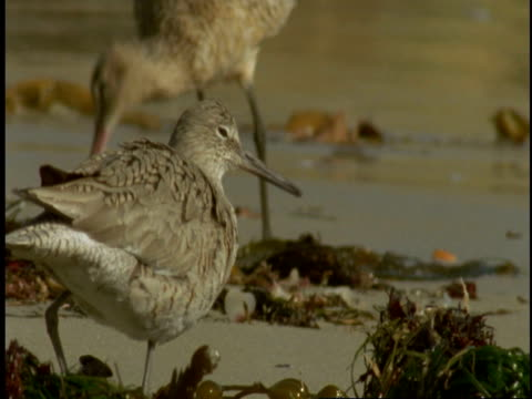 vídeos y material grabado en eventos de stock de a marbled godwit pecks at seaweed on the sand as a willet looks on at monterey bay. - boca de animal