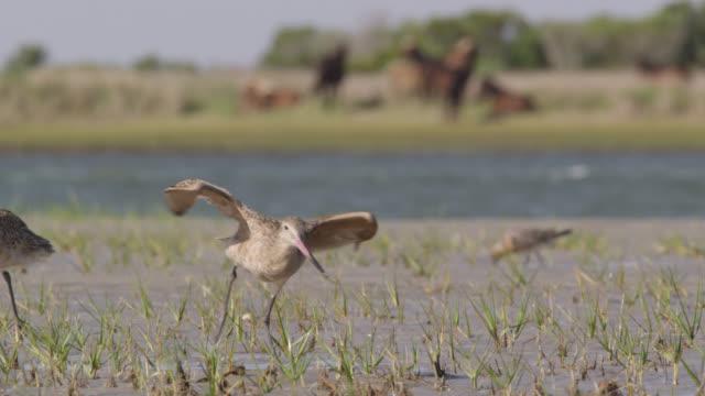 vídeos y material grabado en eventos de stock de marbled godwit takes off from marshland, north carolina - grupo mediano de animales