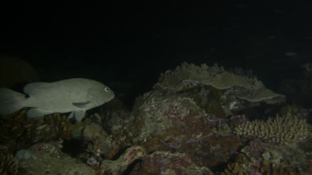 Marbled grouper fish, at midnight, night dive