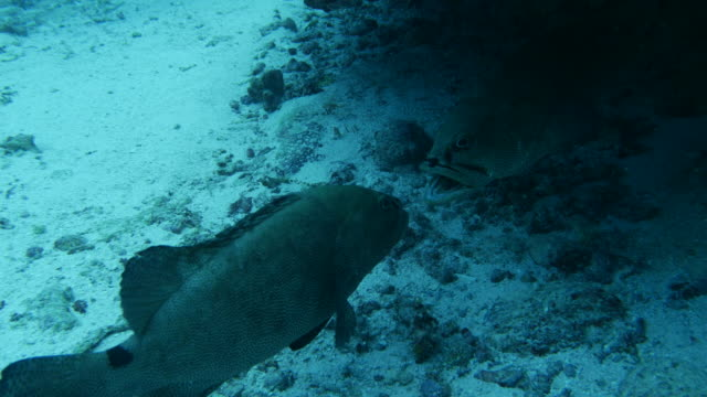 marbled grouper fish bite each other for mating - grouper stock videos & royalty-free footage