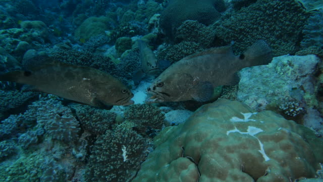 marbled grouper fish fighting, animal behavior - grouper stock videos & royalty-free footage