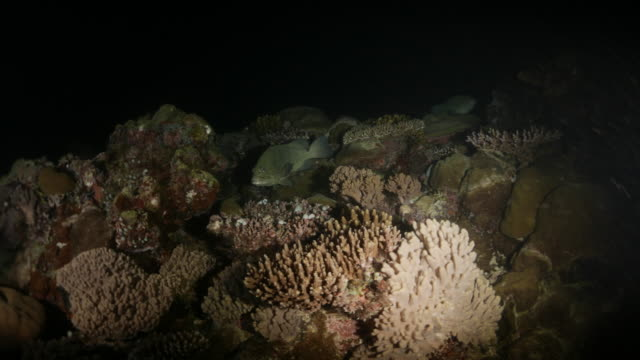 Marbled grouper fish gather together in night reef for mating