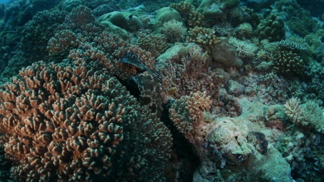 marbled grouper fish hiding in coral cove - ko samui stock videos & royalty-free footage