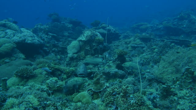 marbled grouper fish hiding in reef, camouflage color - disguise stock videos & royalty-free footage