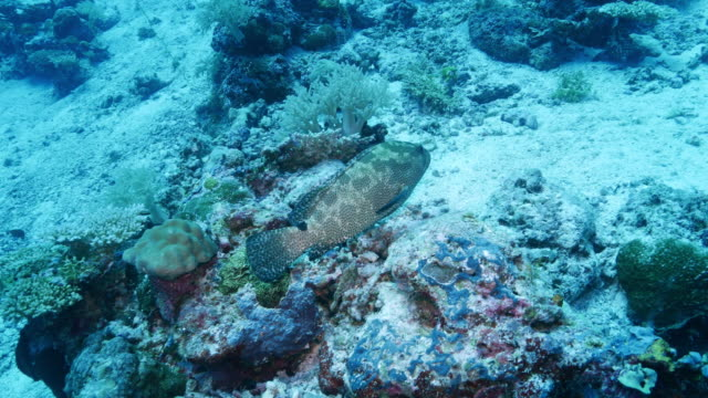stockvideo's en b-roll-footage met gemarmerde grouper vis - oahu