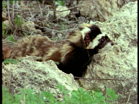 Marbled polecat perched between two rocks looks around before slinking away, Israel