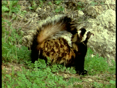 marbled polecat stands erect calling, israel - marbled effect stock videos and b-roll footage