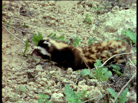 Marbled polecat walks over rocks, Israel