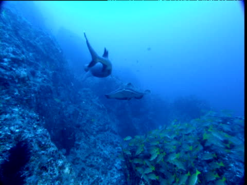 vídeos de stock, filmes e b-roll de marbled ray (taeniura meyeni) swims towards camera over shoal of blue striped snappers, whitetip reef shark swims in opposite direction, cocos island, costa rica - invertebrado