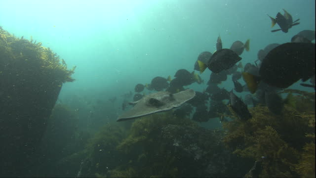 a marbled stingray swims through a shoal of surgeonfish. available in hd. - surgeonfish stock videos and b-roll footage
