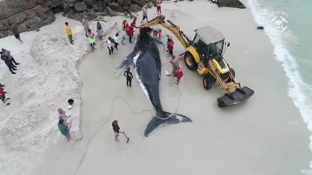 marcelo de lima recorded this drone footage of the attempted rescue of a humpback whale beached in praia grande, brazil. a team of people patiently... - mammal stock videos & royalty-free footage
