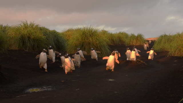 vidéos et rushes de march of the penguins, gentoo penguins at dawn, falkland islands - défiler