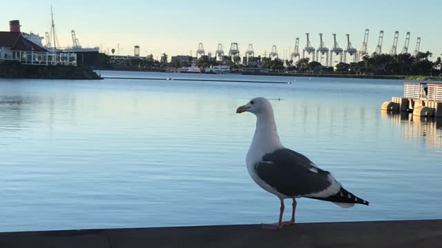 marco magallona is used to seeing all kinds of animals when he strolls by rainbow harbor in long beach, california, including herons, egrets, sea... - egret stock videos & royalty-free footage