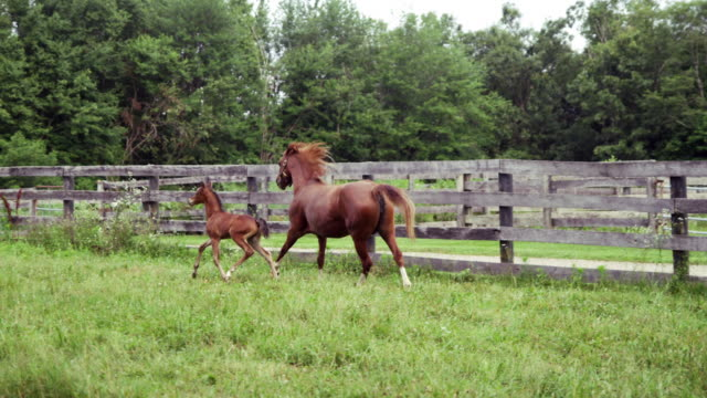 mare and foal run in slow motion - 子馬点の映像素材/bロール
