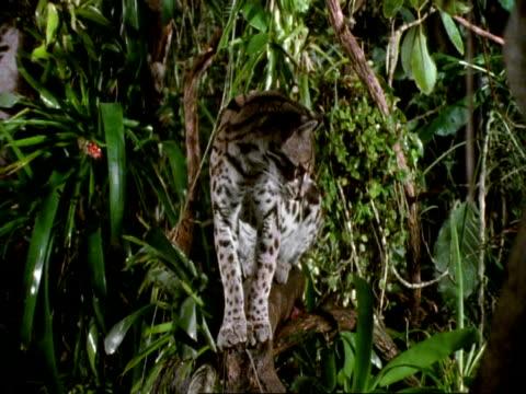 vídeos de stock, filmes e b-roll de mcu margay cat (felis wiedii) sits on branch, looking around, then gets up and walks away from camera - gato não domesticado