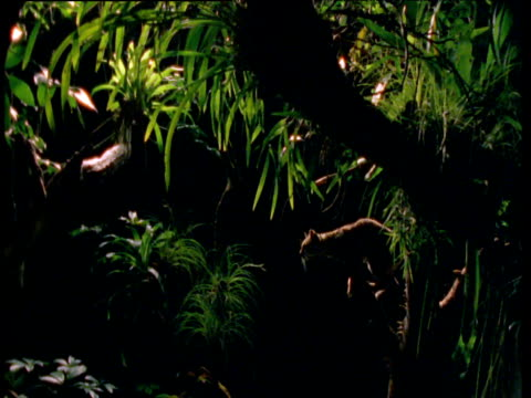 margay leaps between branches in rainforest at night, south america - cat family stock videos and b-roll footage