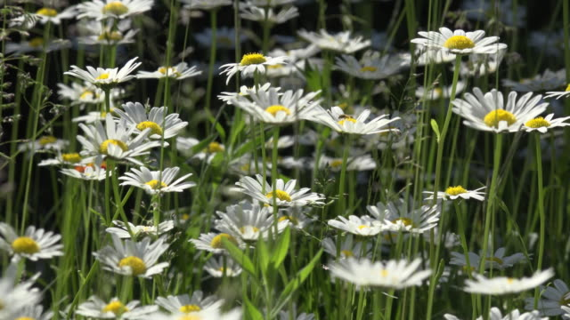 vidéos et rushes de marguerites blooming in a spring meadow - marguerite