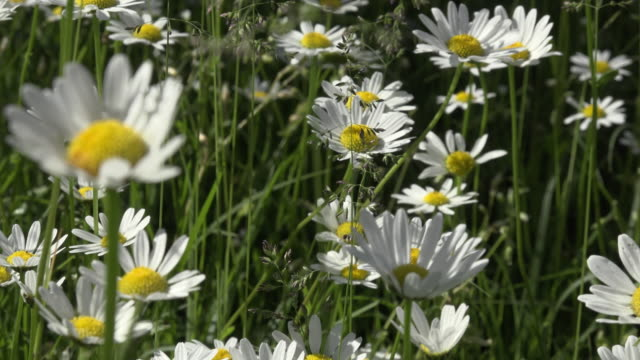 zo / marguerites blooming in a spring meadow - daisy stock videos and b-roll footage