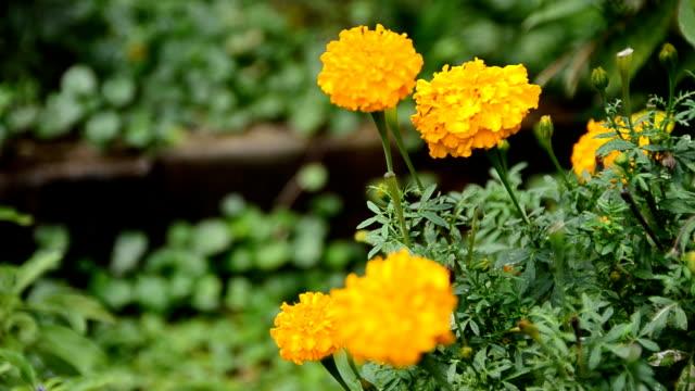 Mari goud gele bloem verplaatsen Volg wind in de natuur op de ochtend licht