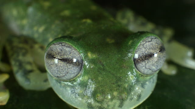 maria's giant glass frog (nymphargus mariae) blinking - animal eye stock videos and b-roll footage