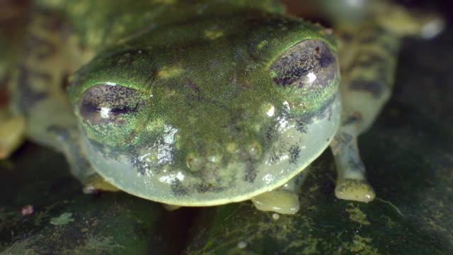 maria's giant glass frog (nymphargus mariae) closes eyes - ecuador stock videos & royalty-free footage